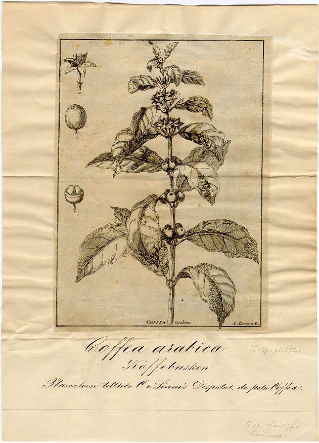 Linnean Herbarium S Linn Coffea Arabica L