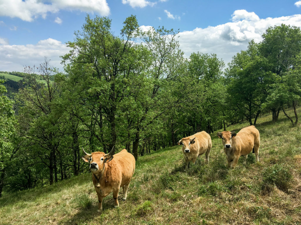 Aubrac Vaches Aveyron