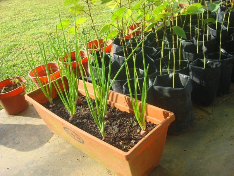 penanaman bawang merah dalam pot