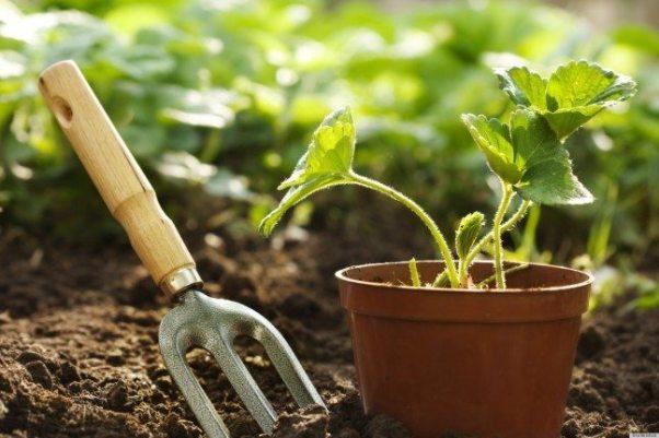 perawatan tanaman kunyit