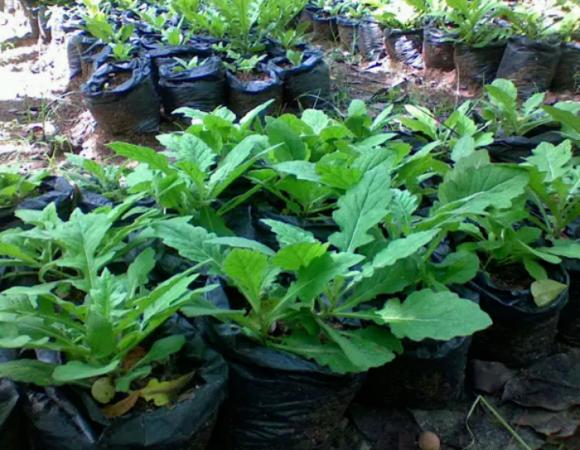 tanaman obat daun dewa