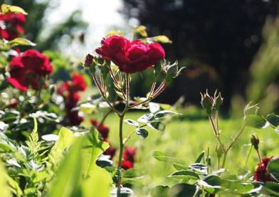 roses   cameraLinz