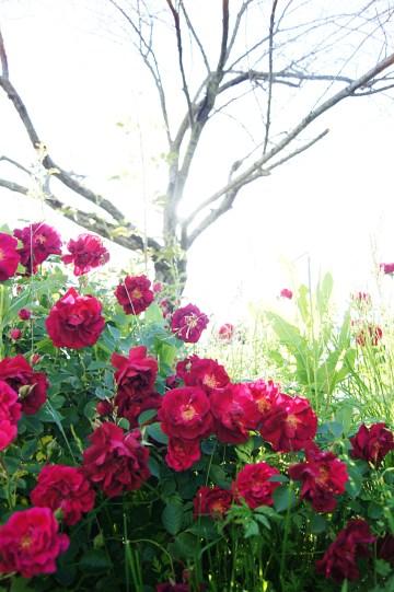 rose bush   cameraLinz