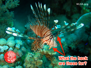 Facts About Invasive Lionfish Lionfish