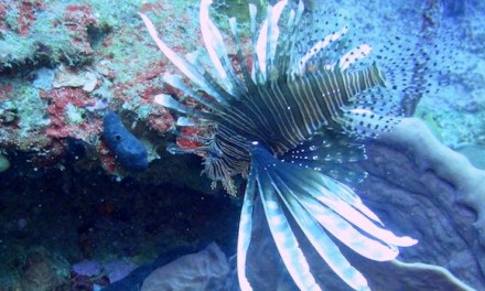 Why I love lionfish