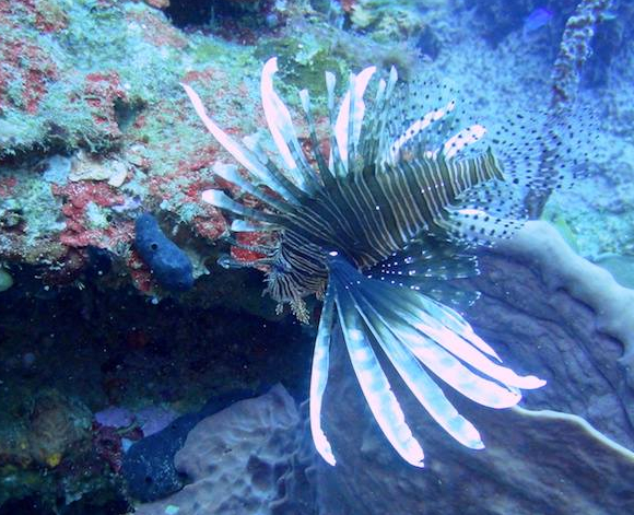 Why I love lionfish