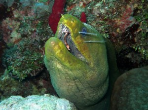 Moray eel with lionfish spines in mouth (Photo by ReefCI)