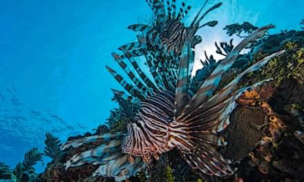 What eats lionfish
