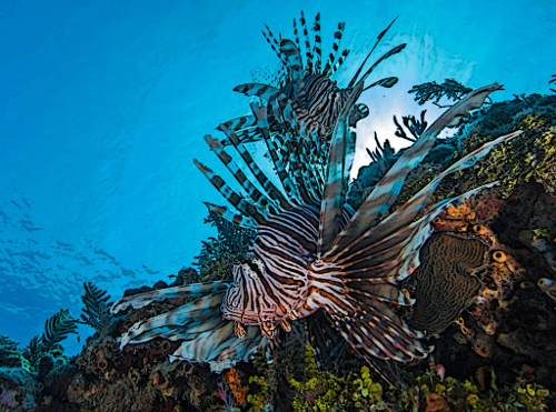 What eats lionfish