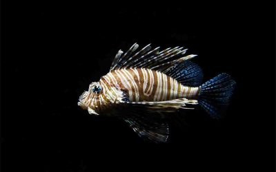 What to do after a lionfish sting