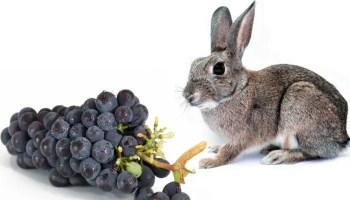 can-rabbits-eat-grapes