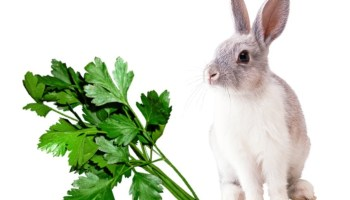 can rabbits eat parsley