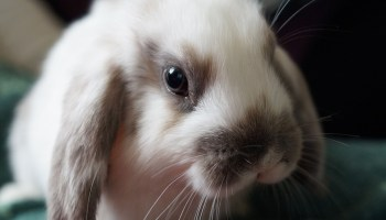 Are Rabbits Herbivores, Carnivores or Omnivores