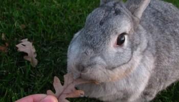 giant American Chinchilla Rabbit