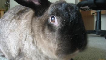 American Sable rabbit