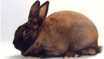 Cinnamon Rabbit