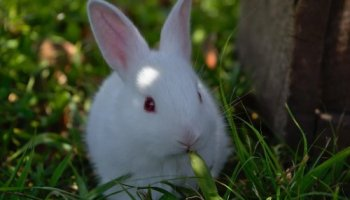 red-eyed-bunny