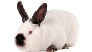 altex rabbit
