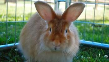 Satin Angora Rabbit
