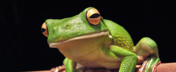 White_lipped_tree_frog_cairns_jan_8_2006