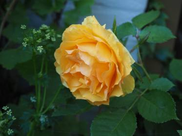Ez itt a sárga rózsa - mondtaja zillés.