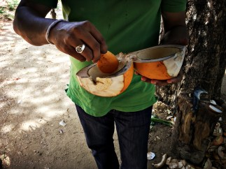 Making a spoon with the husk of the King Coconut to scrap the flesh