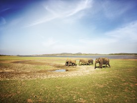 Magnificent elephants at the Minneriya National Park