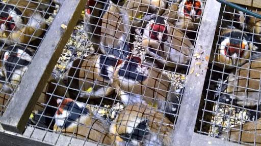 23 febbraio 2020. BUONFORNELLO (PA) – SORPRESI DUE UCCELLATORI CON 45 CARDELLINI. PLAUSI DALLA LIPU