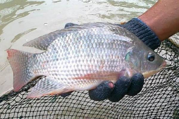 Cara Memelihara Indukan Ikan Nila dengan Mudah