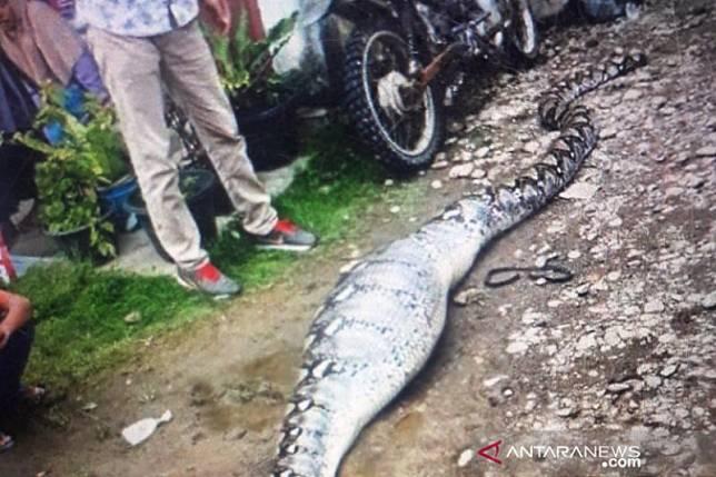 Seekor ular piton usai mangsa kambing ditangkap warga Pasaman Barat