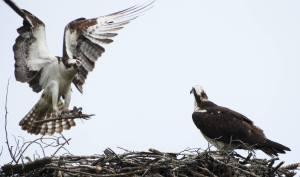 Hiking Ospreys Building Nest on Long Island