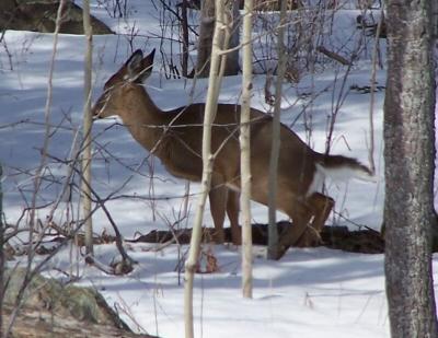 deerpeeing