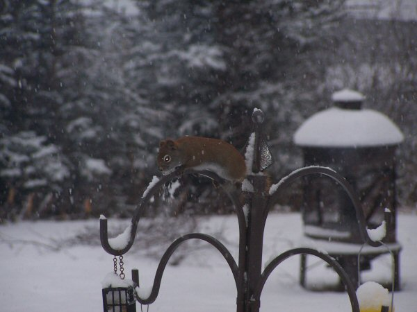 wintersquirrel1