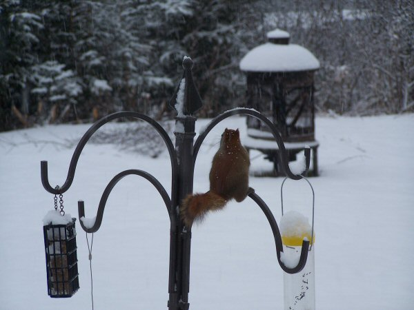 wintersquirrel3