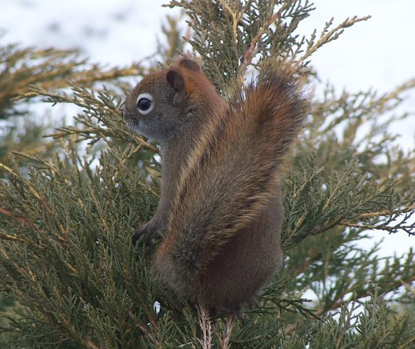 This is a photo of a red squirrel on the shrub outside my office window.