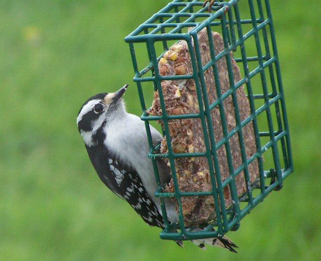 downywoodpecker1