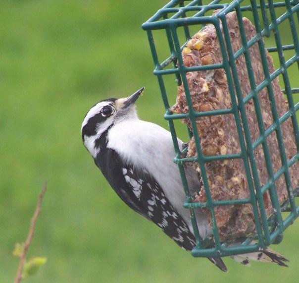 downywoodpecker2