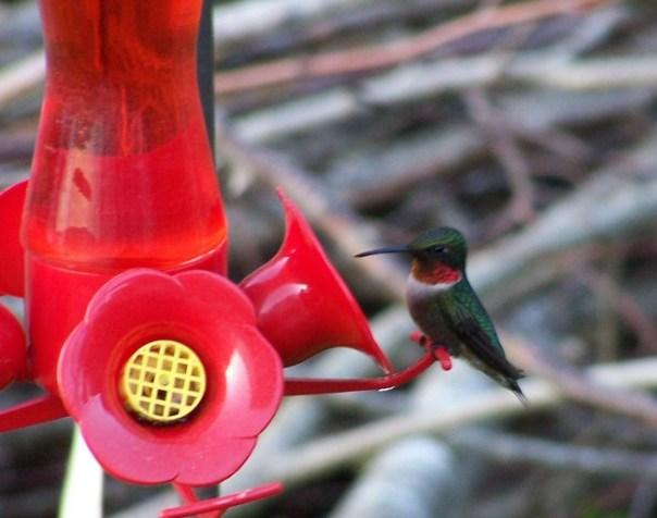 firsthummingbird5