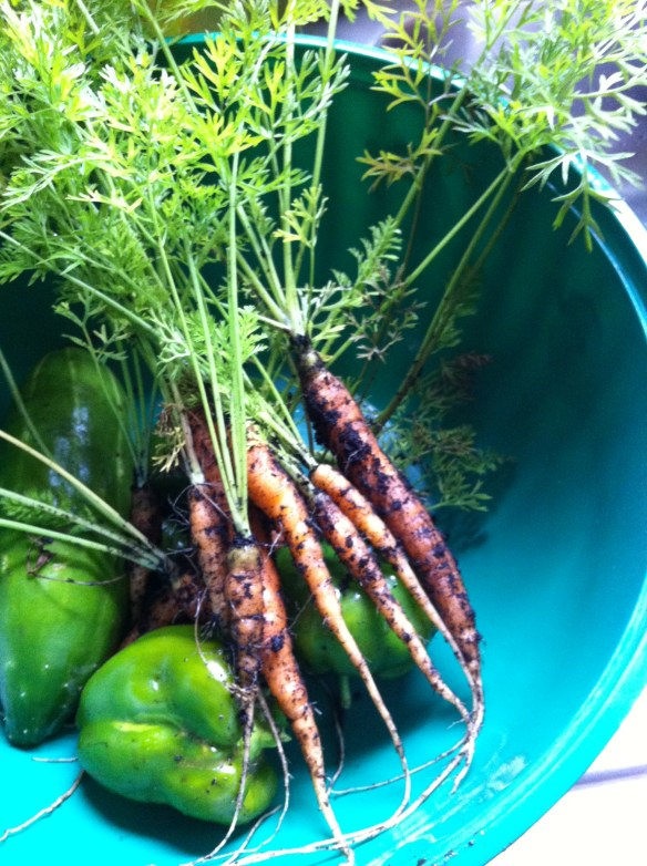homegrown carrots