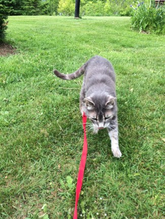 Zeus on his last leash walk a month ago