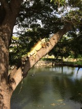 Big huge iguana!