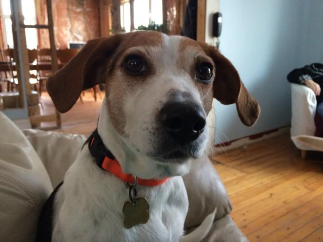 Sadie the beagle.