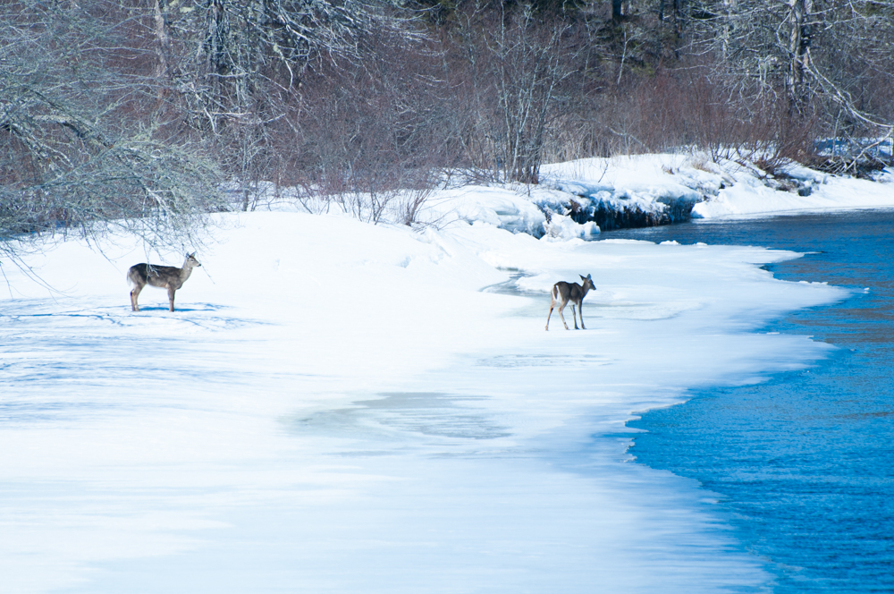 Two deer standing on the snow and ice along the St. Mary's River.