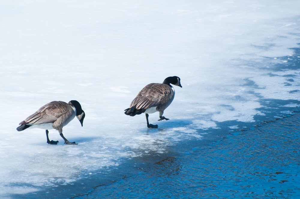 Two Canadian geese walking along the edge of the ice on the river.