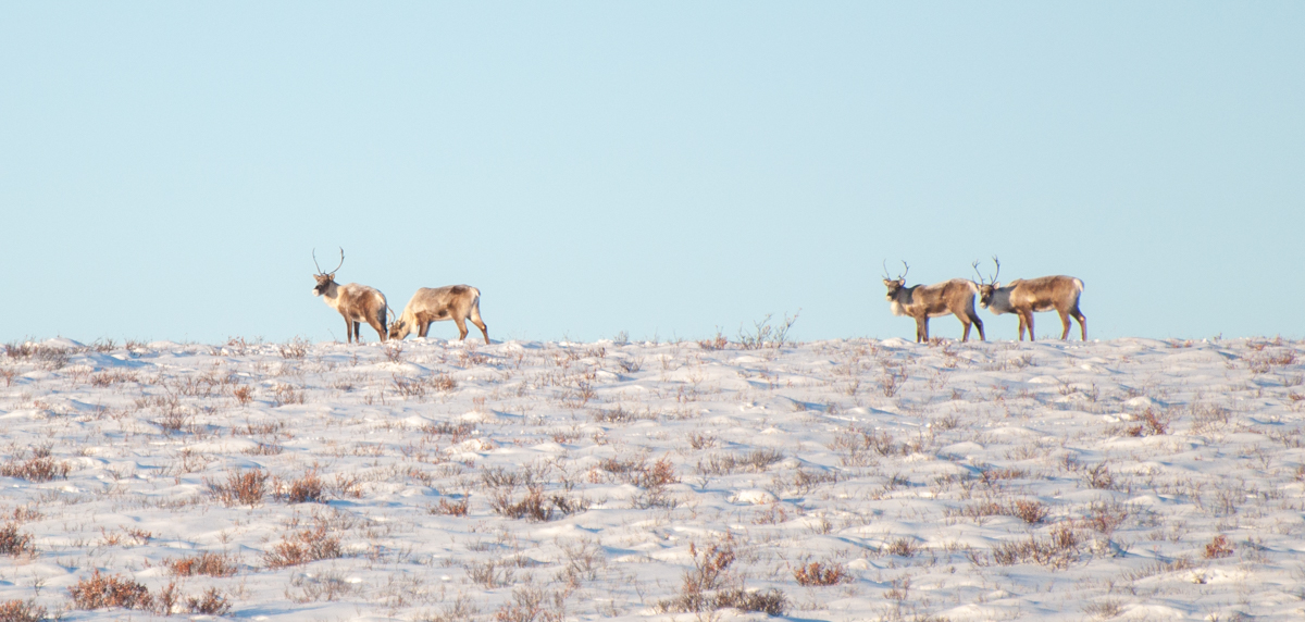 Caribou on the Dempster