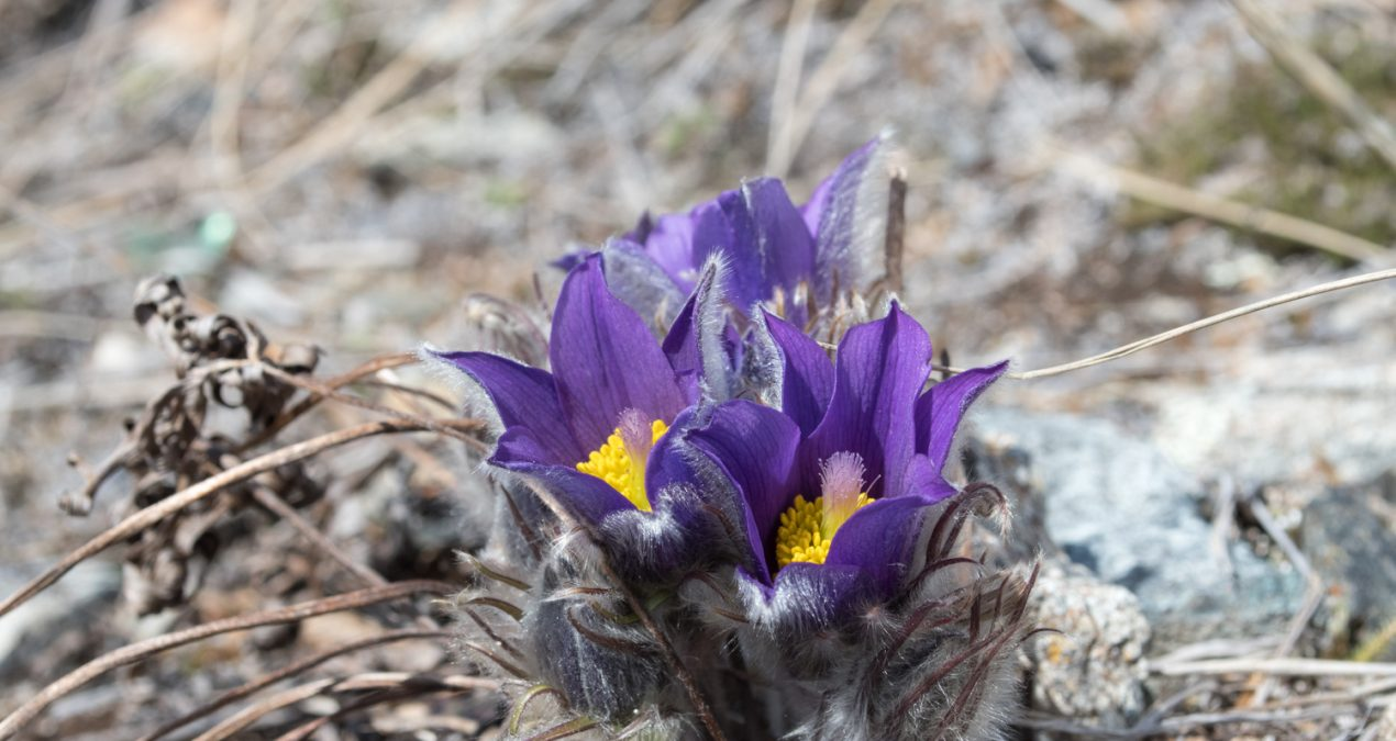 More crocus hunting today