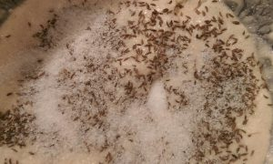 adding caraway to bread