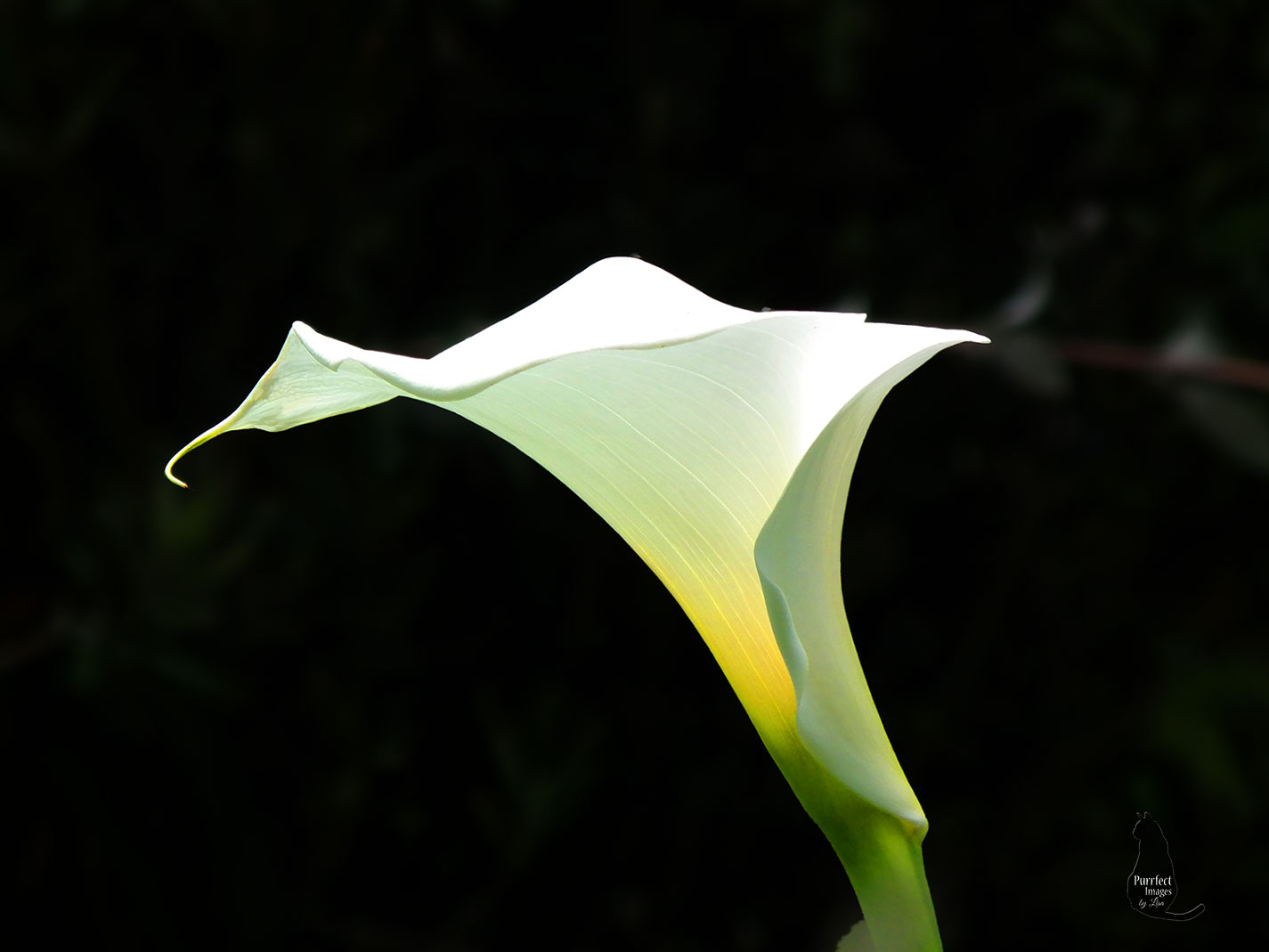 A White Calla Lilly