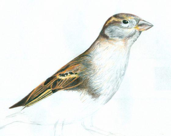 Farbstiftzeichnung eines Vogels von Lisa Cuthbertson