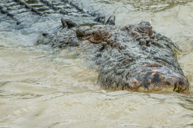 Face Of A Salt Water Crock On The Adelaide River Crocodile